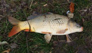 Карп на рыбалке