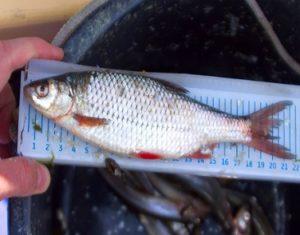 Измерение рыбы
