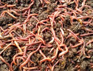 Как сохранить червей в жару